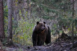 Brown Bear watching hide rent