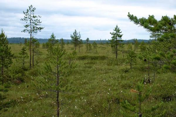 Meenikunno bog in the summer
