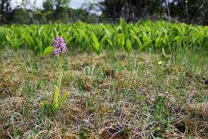 Lily of the valley is in bloom; on the foreground stands a military orchid (protected species). Väike-Pakri.
