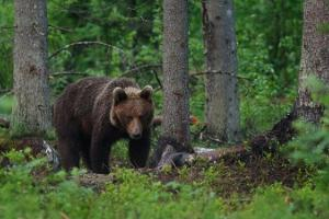 Brown Bear Watching and Tracking Tour