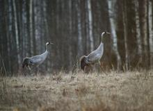 Migratory bird routes - Estonia, a bird-watcher's paradise