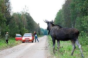Elk in Estonia