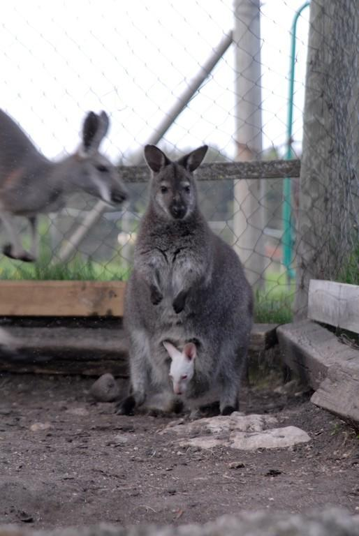 Albino wallaby joey in the pouch