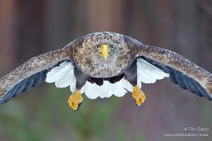 A sea eagle as captured from a photography shelter