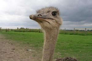 Ostrich from the ostrich farm of  Sassi farm