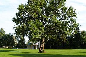 Oak on Orissaare stadium