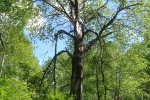 Gigantic aspen in the aspen grove in Padaku