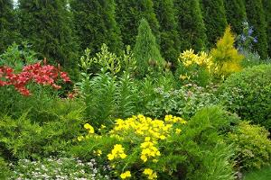 Maie Aed. July - lilies, framed by conifers and coniferous bushes.
