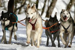 Husky sledding tour, starting from Tallinn