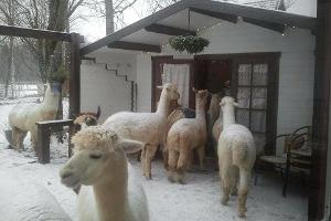 Alpaca farm – the largest in Estonia!