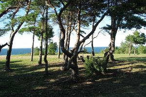 Pines on the beach